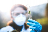 Scientist wearing protective clothing inspects marijuana plant contained in glass vile