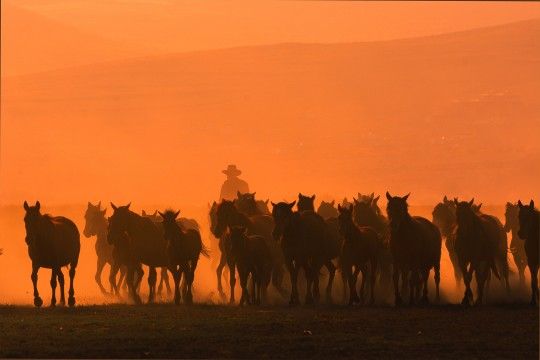 herd of horses running with rancher in background